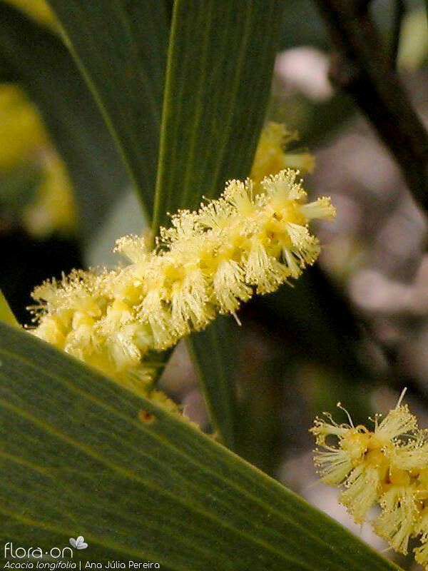 Acacia longifolia - Flor (close-up) | Ana Júlia Pereira; CC BY-NC 4.0