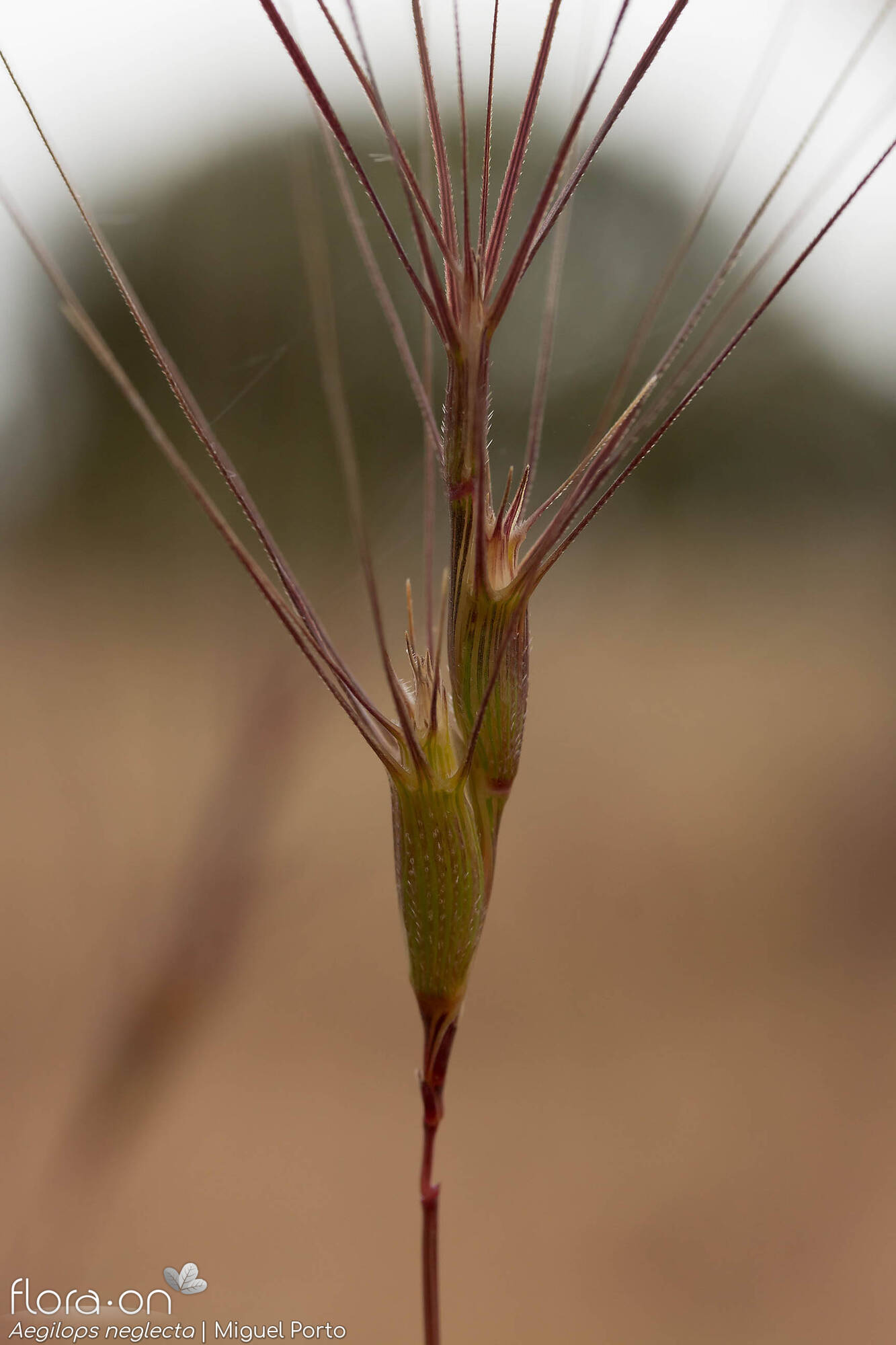 Aegilops neglecta - Flor (close-up) | Miguel Porto; CC BY-NC 4.0