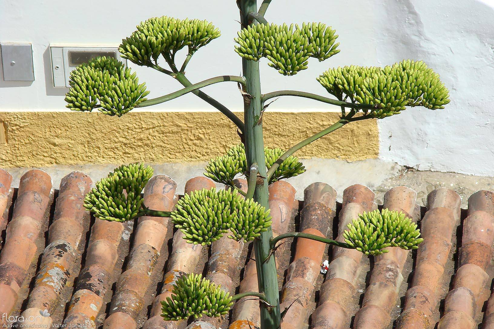 Agave americana - Flor (geral) | Valter Jacinto; CC BY-NC 4.0