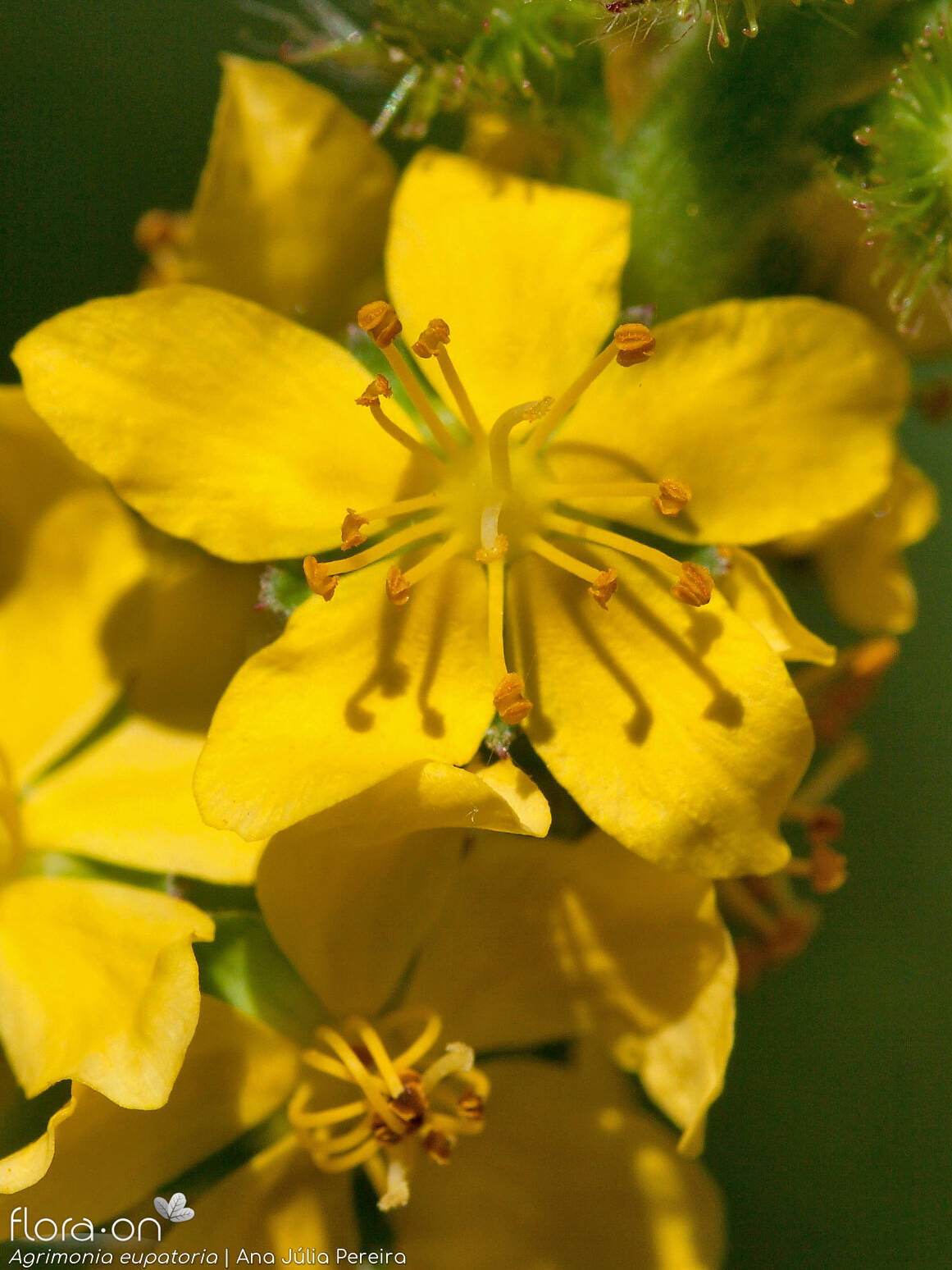 Agrimonia eupatoria - Flor (close-up) | Ana Júlia Pereira; CC BY-NC 4.0
