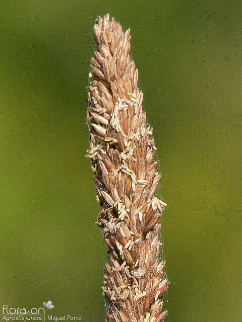 Agrostis juressi - Flor (close-up) | Miguel Porto; CC BY-NC 4.0