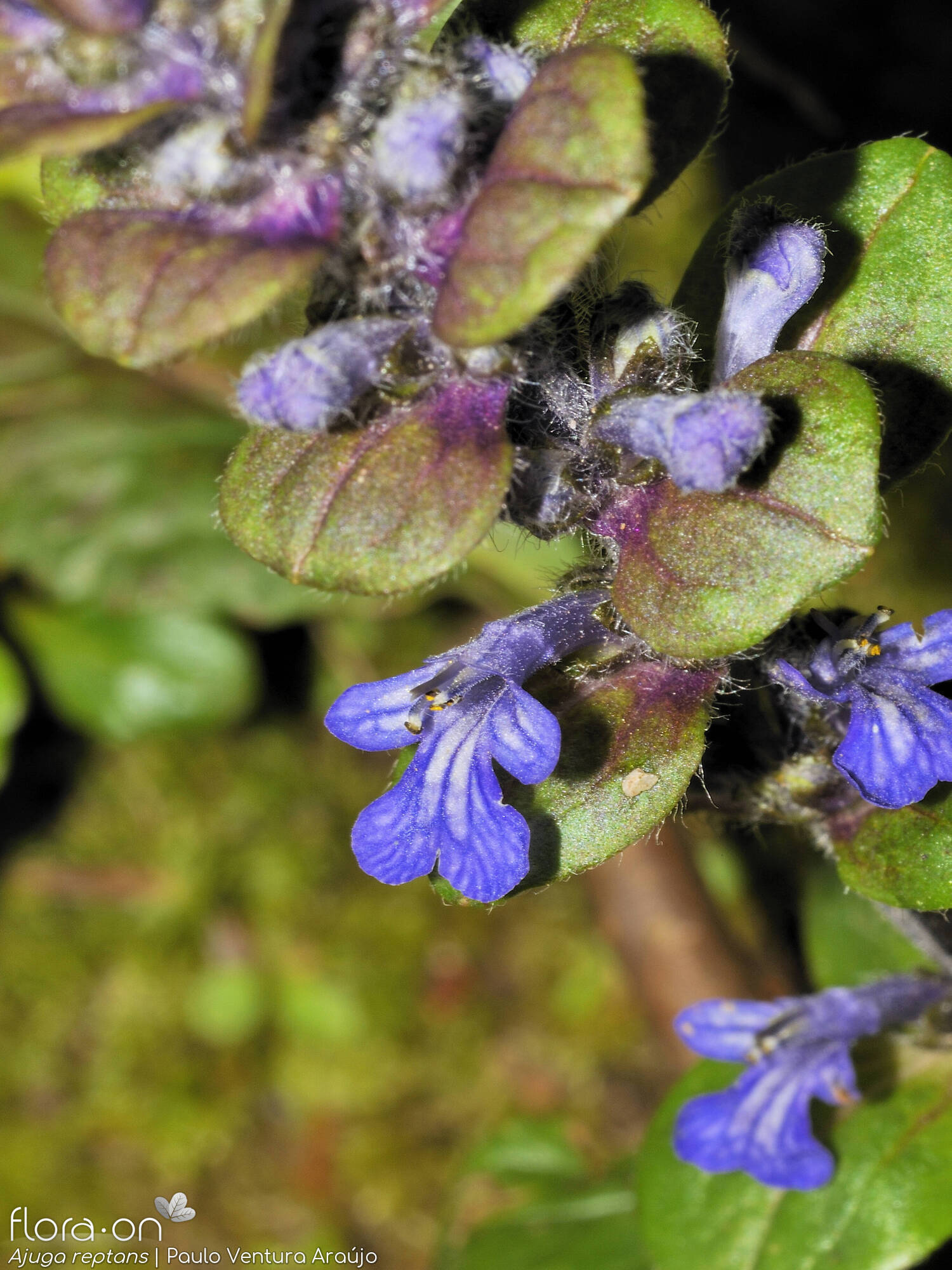 Ajuga reptans - Flor (close-up) | Paulo Ventura Araújo; CC BY-NC 4.0