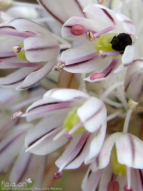 Allium paniculatum - Flor (close-up) | Ana Júlia Pereira; CC BY-NC 4.0