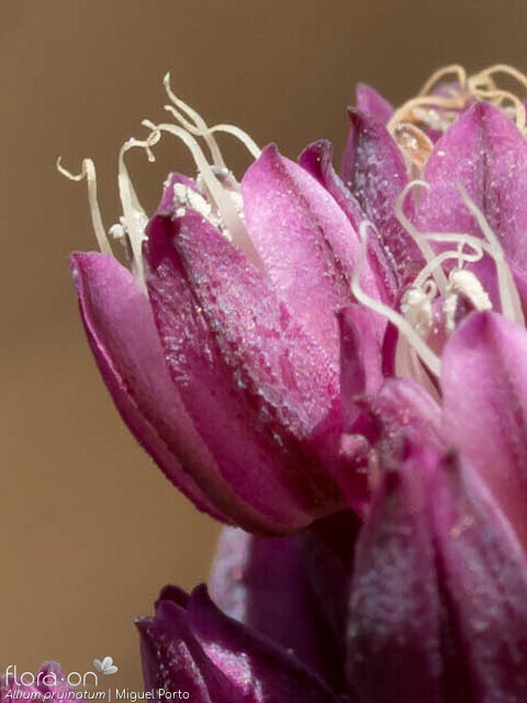 Allium pruinatum - Flor (close-up) | Miguel Porto; CC BY-NC 4.0