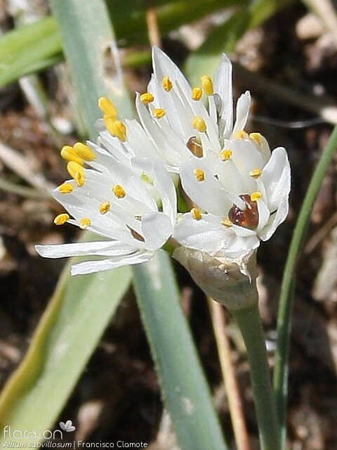 Allium subvillosum - Flor (close-up) | Francisco Clamote; CC BY-NC 4.0