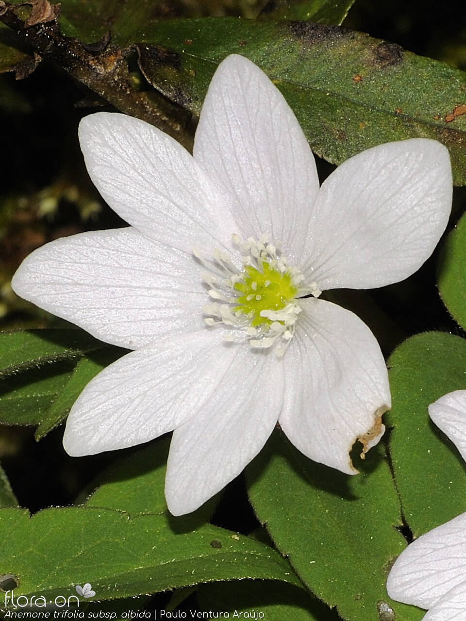 Anemone trifolia albida - Flor (close-up) | Paulo Ventura Araújo; CC BY-NC 4.0