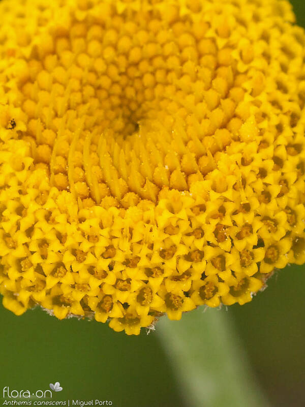Anthemis canescens - Flor (close-up) | Miguel Porto; CC BY-NC 4.0