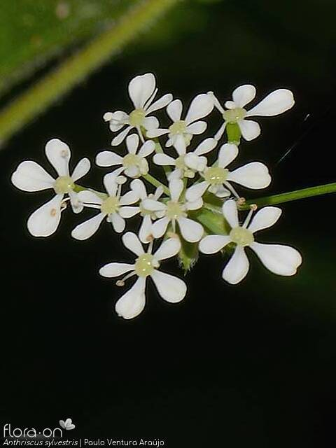Anthriscus sylvestris - Flor (close-up) | Paulo Ventura Araújo; CC BY-NC 4.0