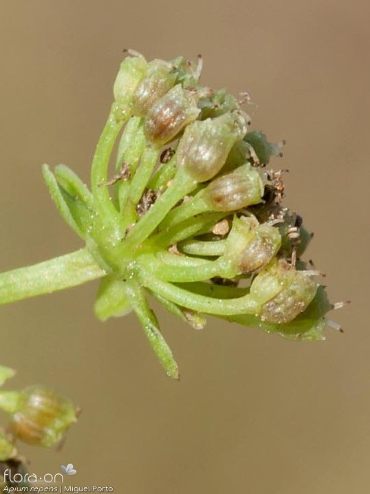 Apium repens - Fruto | Miguel Porto; CC BY-NC 4.0
