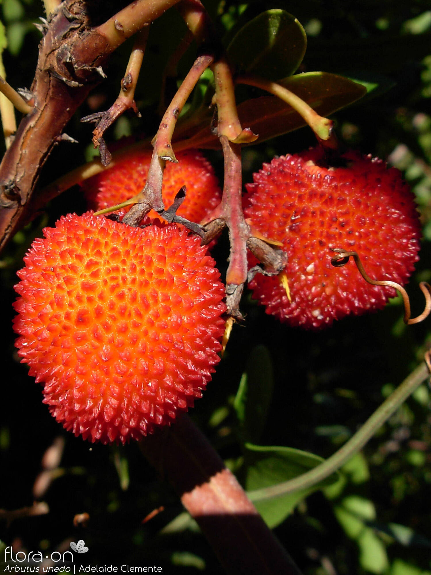 Arbutus unedo - Fruto | Adelaide Clemente; CC BY-NC 4.0