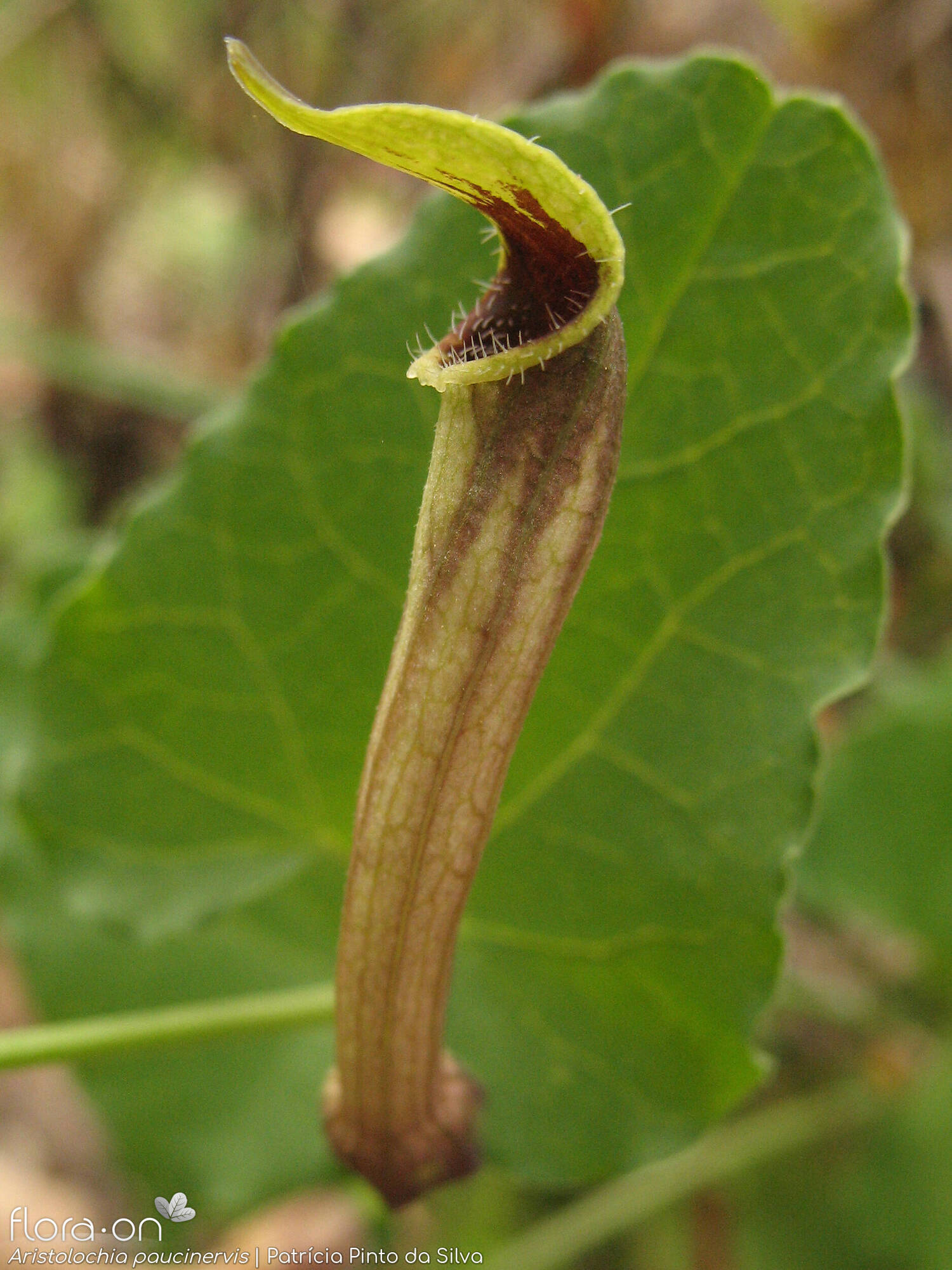 Aristolochia paucinervis - Flor (close-up) | Patrícia Pinto Silva; CC BY-NC 4.0