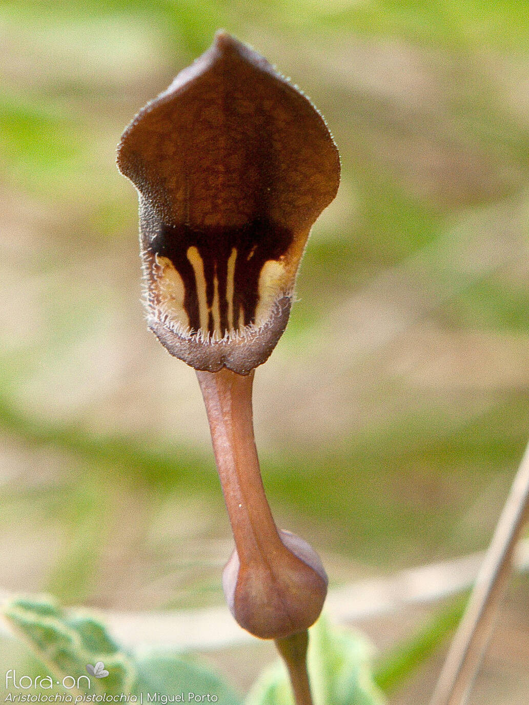 Aristolochia pistolochia - Flor (close-up) | Miguel Porto; CC BY-NC 4.0