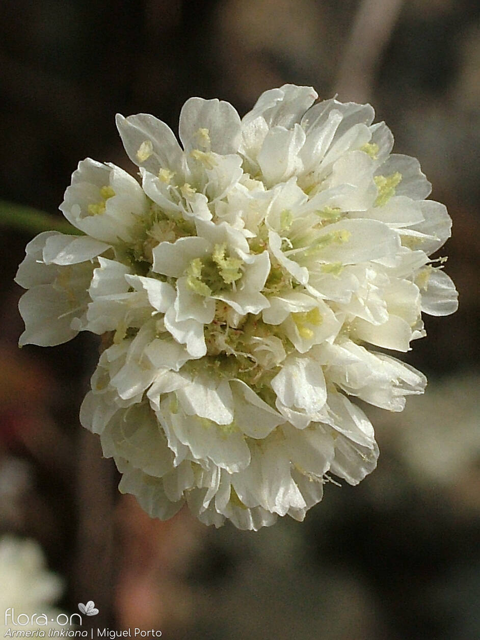 Armeria linkiana - Flor (close-up) | Miguel Porto; CC BY-NC 4.0