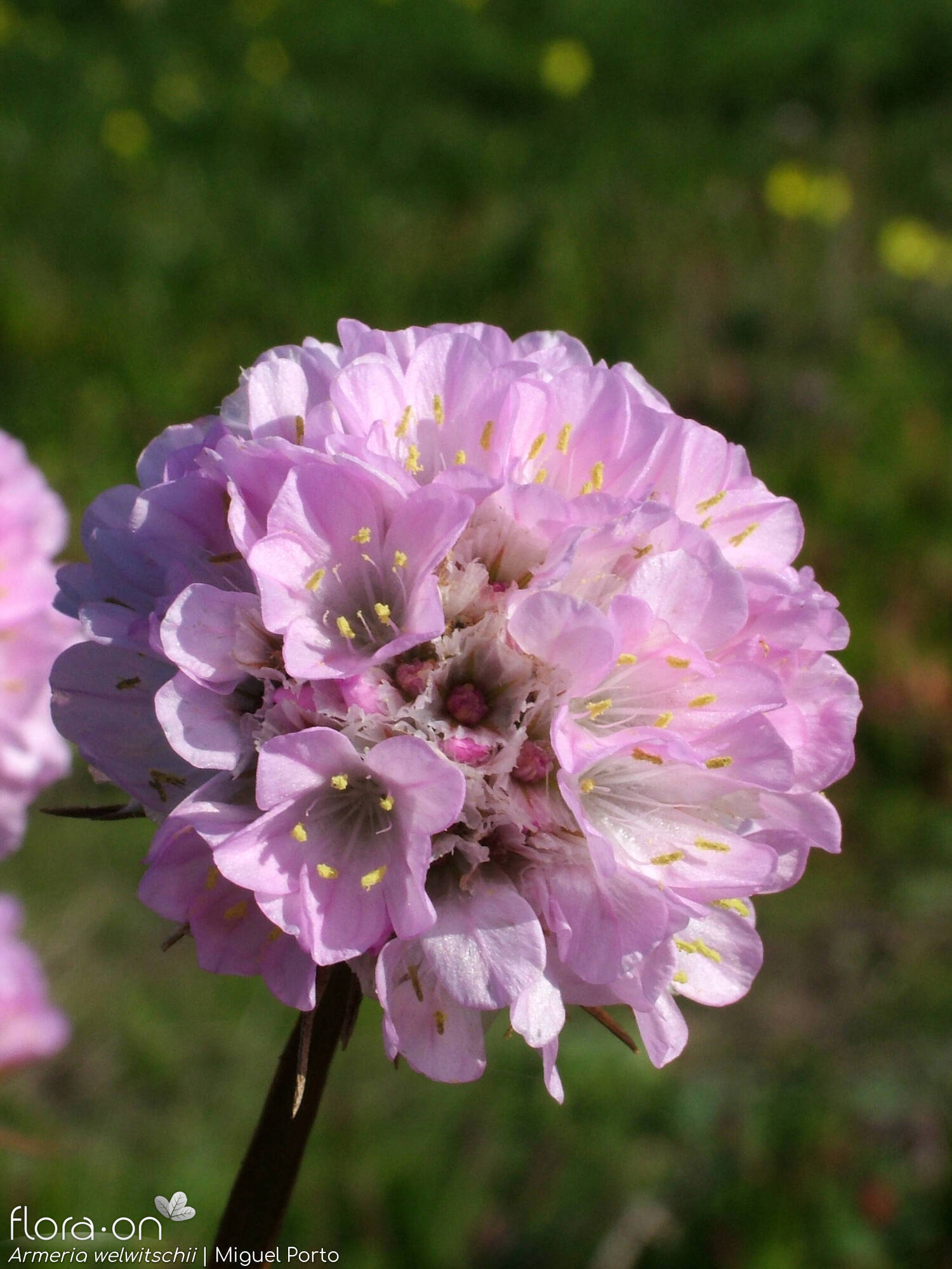 Armeria welwitschii - Flor (close-up) | Miguel Porto; CC BY-NC 4.0