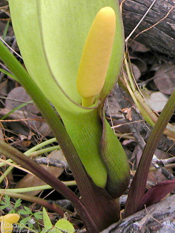 Arum italicum italicum - Flor (close-up) | Pedro Pinho; CC BY-NC 4.0