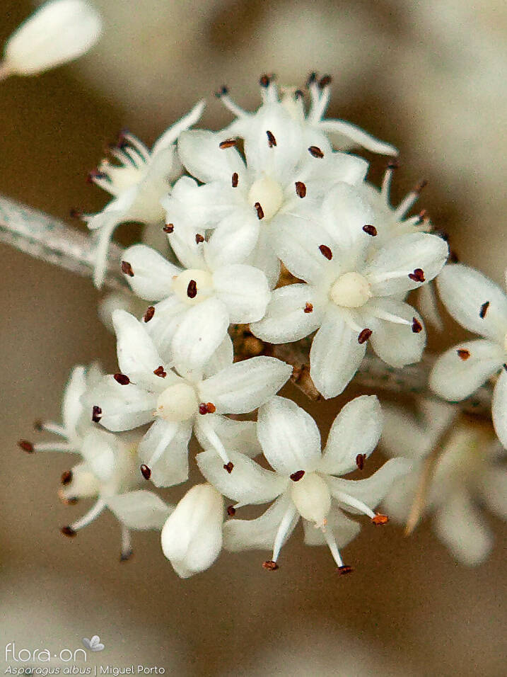 Asparagus albus - Flor (close-up) | Miguel Porto; CC BY-NC 4.0