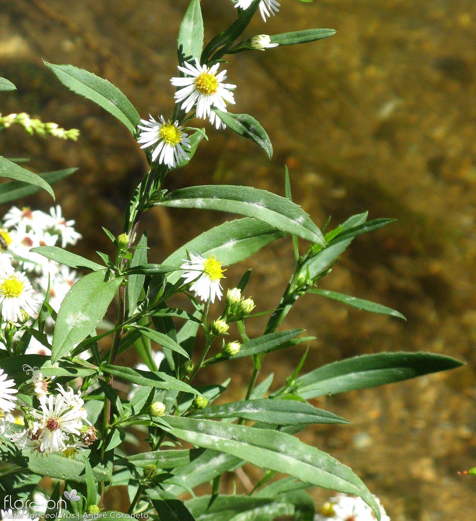 Aster lanceolatus - Folha (geral) | André Carapeto; CC BY-NC 4.0