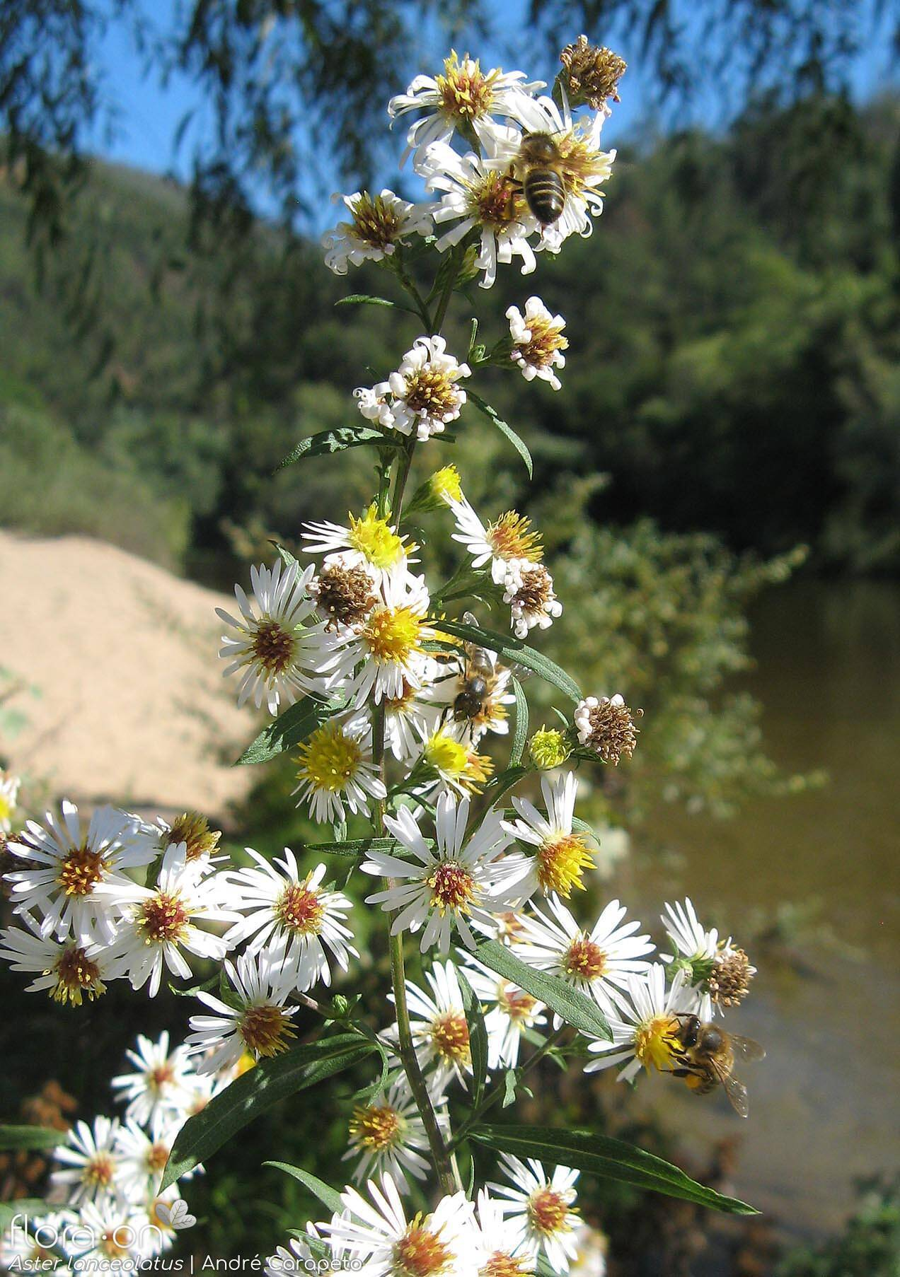 Aster lanceolatus - Flor (geral) | André Carapeto; CC BY-NC 4.0