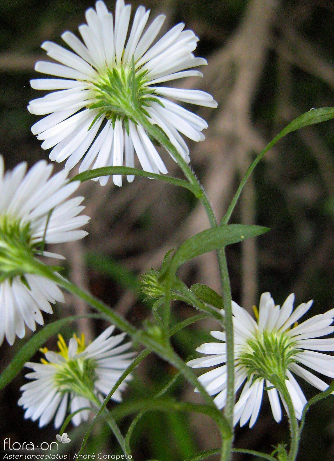 Aster lanceolatus - Capítulo | André Carapeto; CC BY-NC 4.0