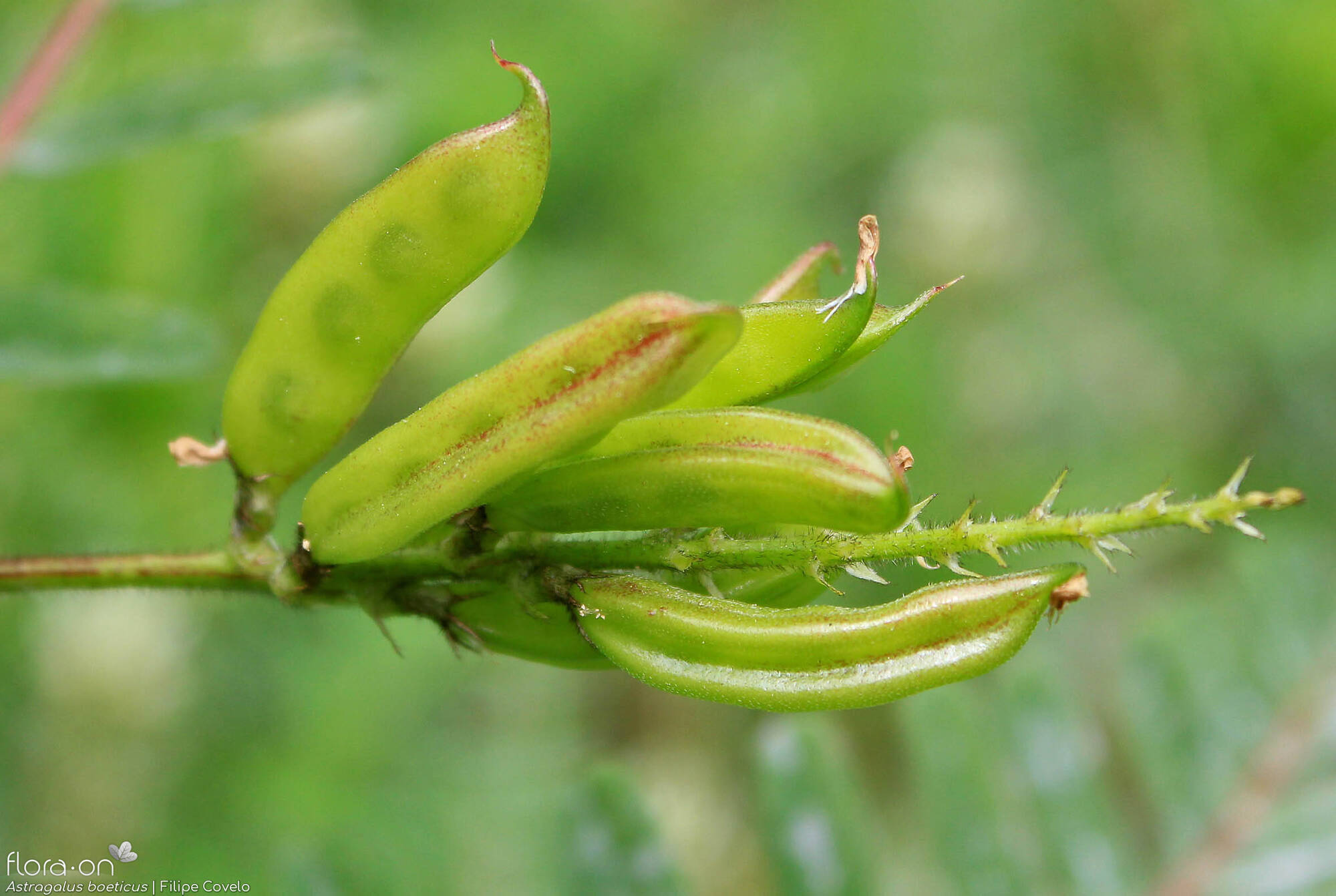 Astragalus boeticus - Fruto | Filipe Covelo; CC BY-NC 4.0