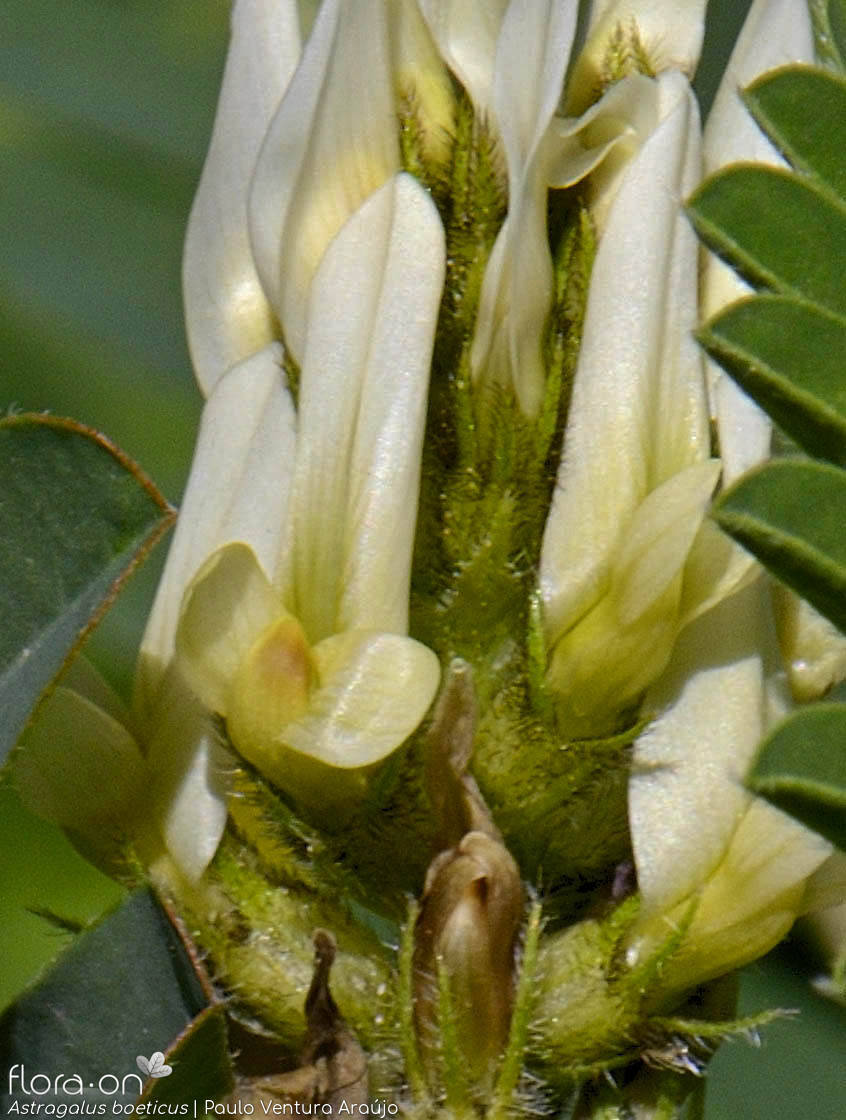 Astragalus boeticus - Flor (close-up) | Paulo Ventura Araújo; CC BY-NC 4.0
