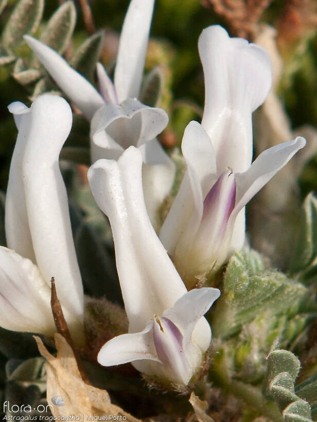Astragalus tragacantha - Flor (close-up) | Miguel Porto; CC BY-NC 4.0