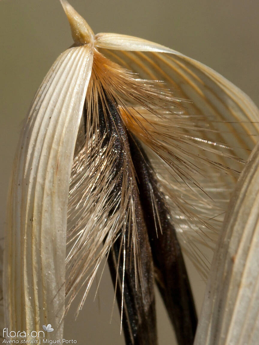Avena sterilis - Flor (close-up) | Miguel Porto; CC BY-NC 4.0