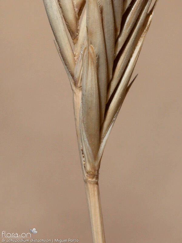 Brachypodium distachyon - Flor (close-up) | Miguel Porto; CC BY-NC 4.0
