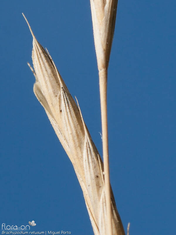 Brachypodium retusum - Flor (close-up) | Miguel Porto; CC BY-NC 4.0