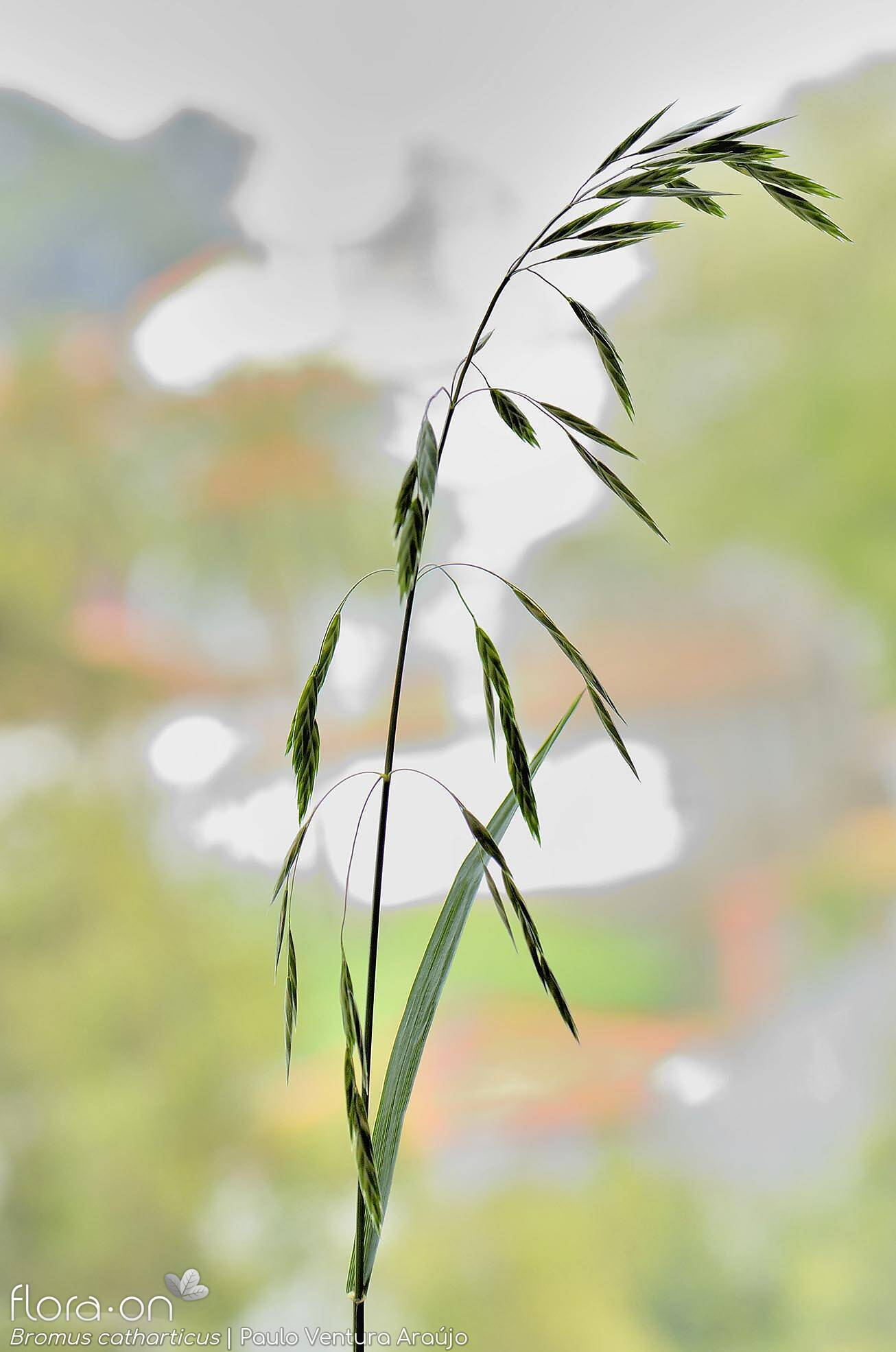 Bromus catharticus - Flor (geral) | Paulo Ventura Araújo; CC BY-NC 4.0