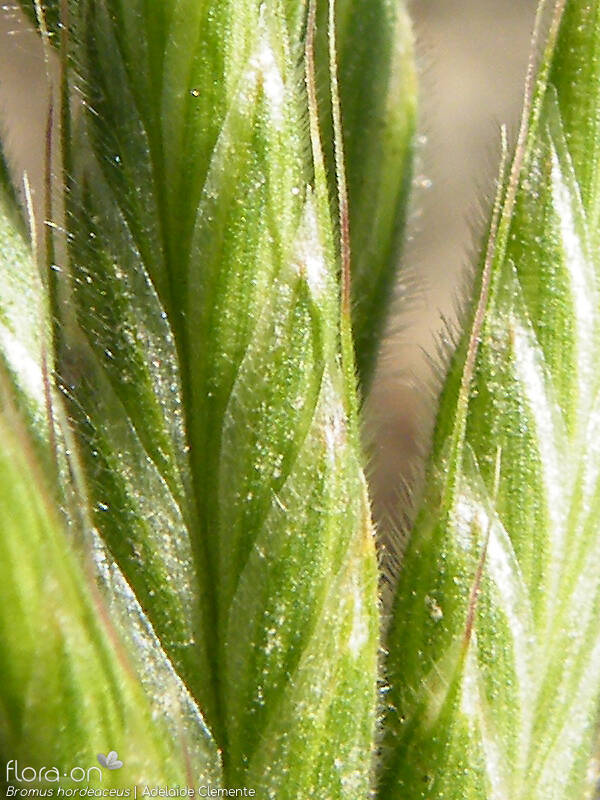 Bromus hordeaceus - Flor (close-up) | Adelaide Clemente; CC BY-NC 4.0