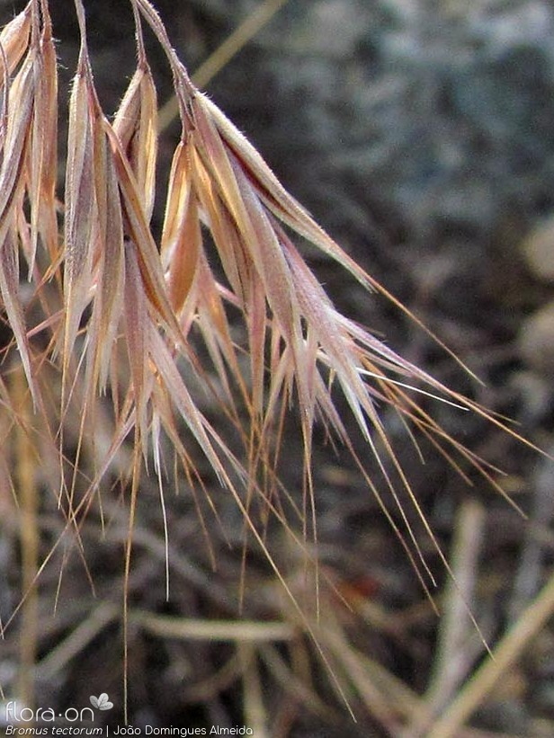 Bromus tectorum - Espigueta | João Domingues Almeida; CC BY-NC 4.0