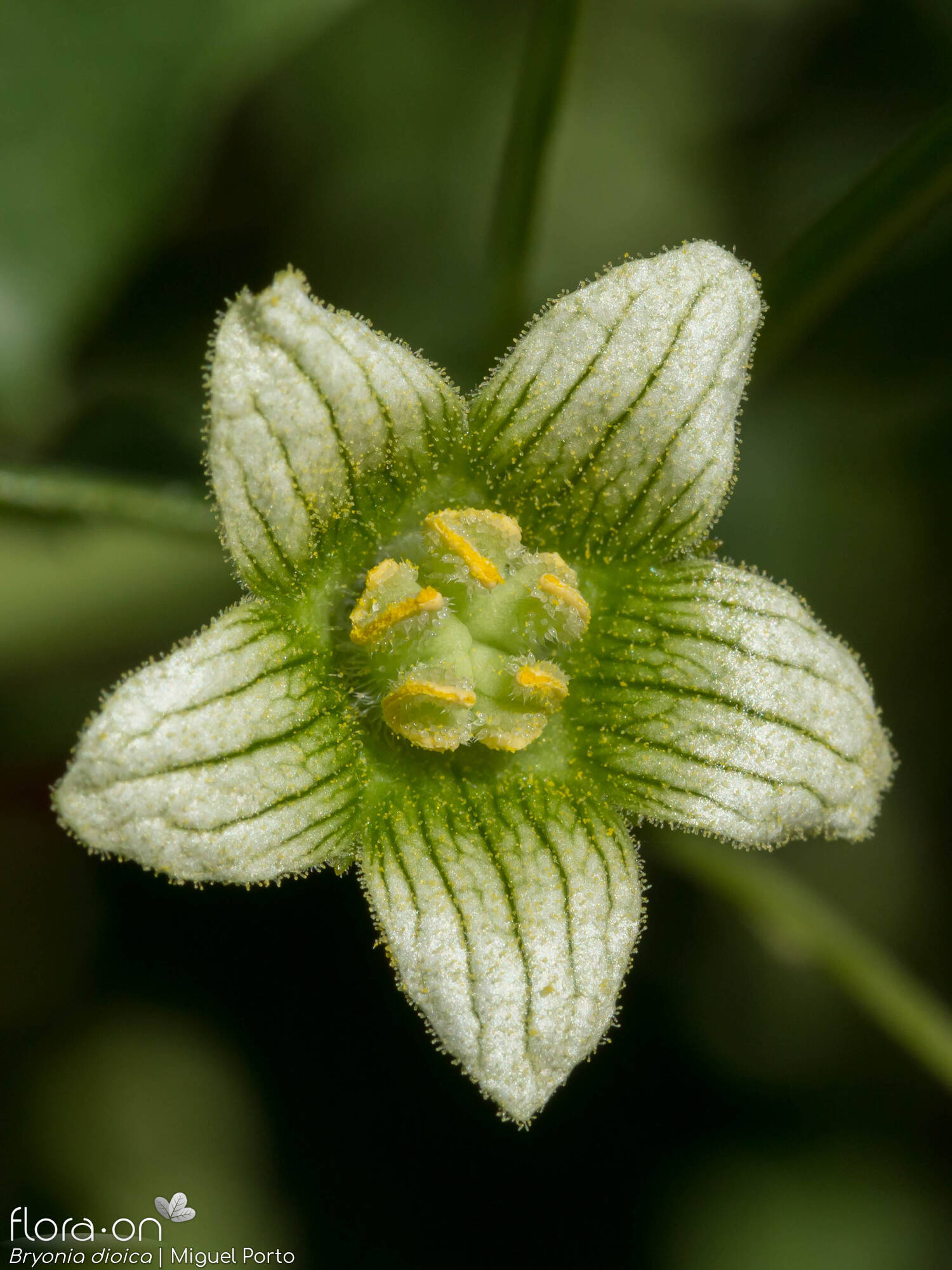 Bryonia dioica - Flor (close-up) | Miguel Porto; CC BY-NC 4.0