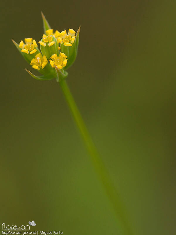 Bupleurum gerardi - Flor (close-up) | Miguel Porto; CC BY-NC 4.0