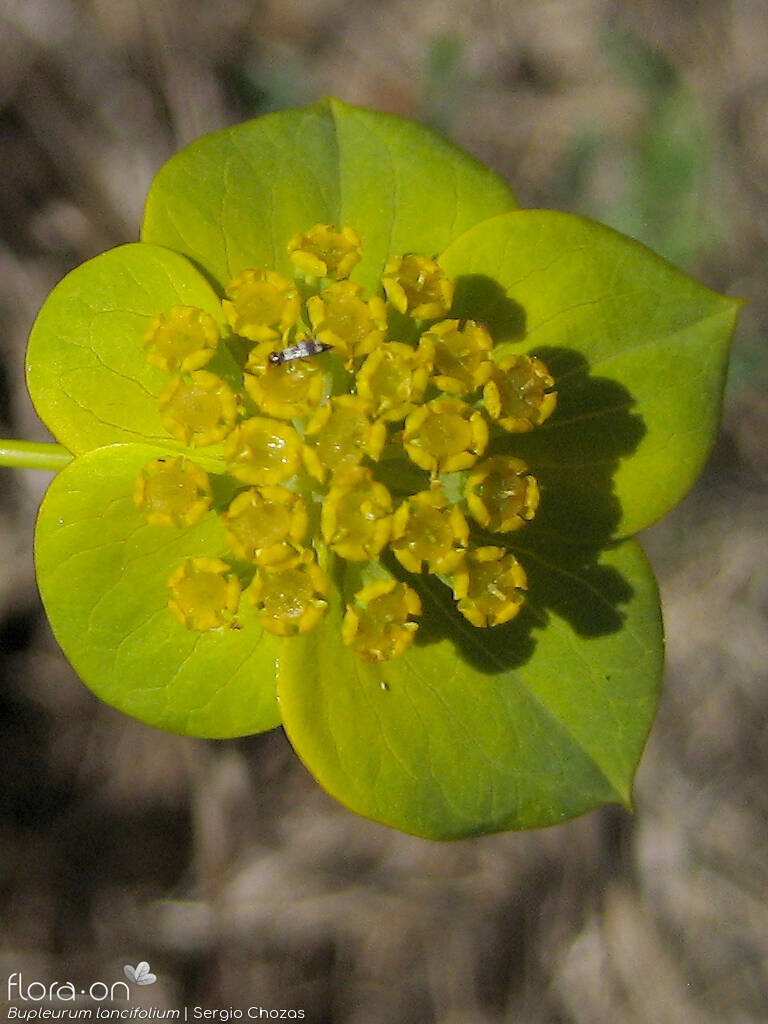 Bupleurum lancifolium - Flor (close-up) | Sergio Chozas; CC BY-NC 4.0