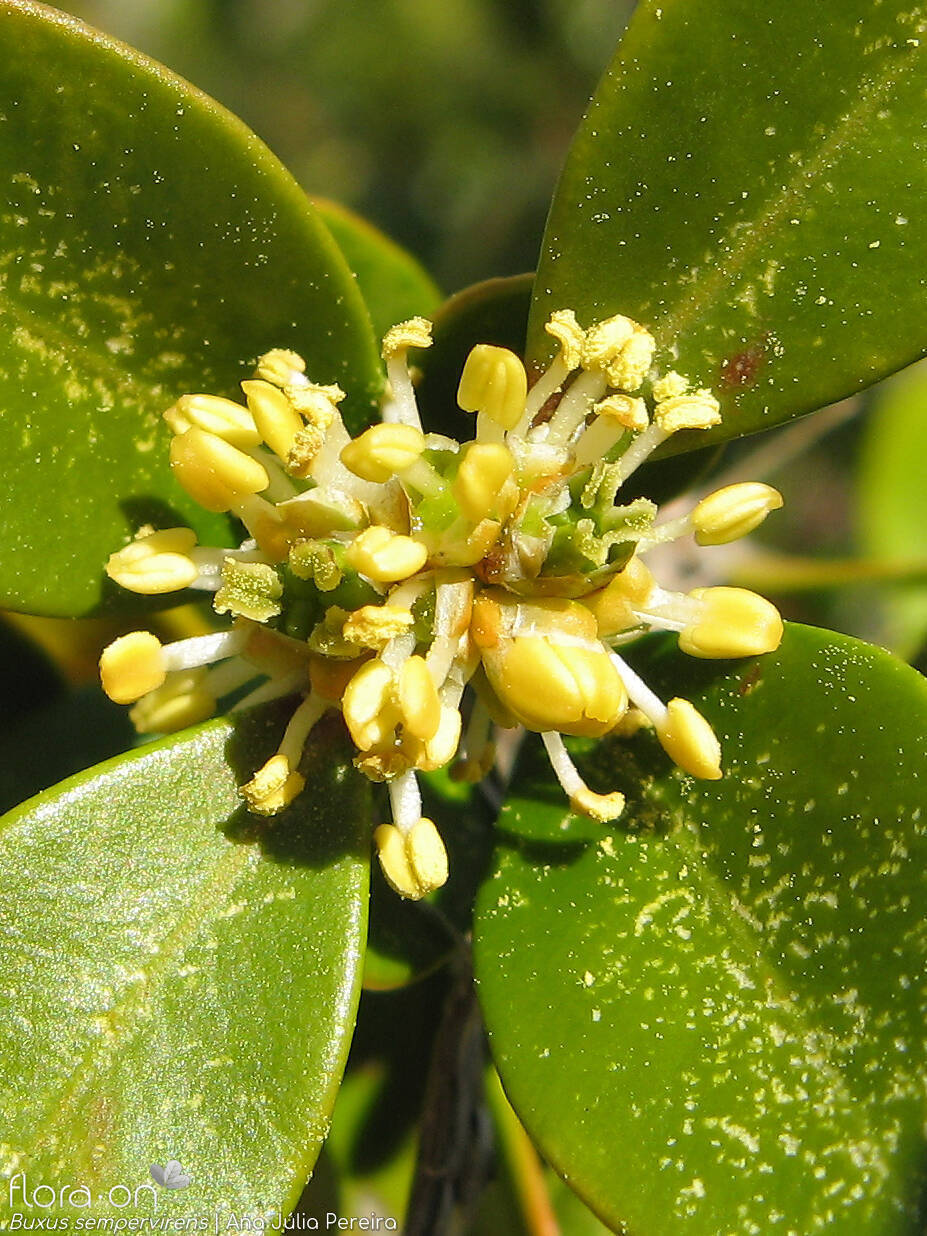 Buxus sempervirens - Flor (close-up) | Ana Júlia Pereira; CC BY-NC 4.0