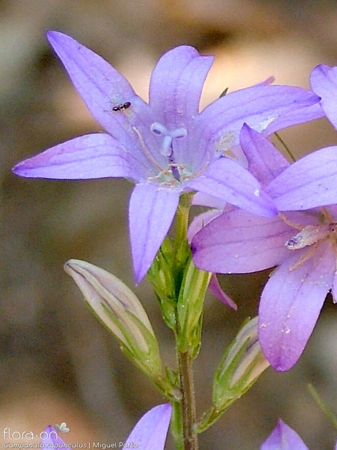 Campanula rapunculus - Flor (close-up) | Miguel Porto; CC BY-NC 4.0