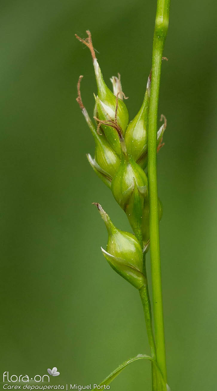 Carex depauperata - Flor (close-up) | Miguel Porto; CC BY-NC 4.0