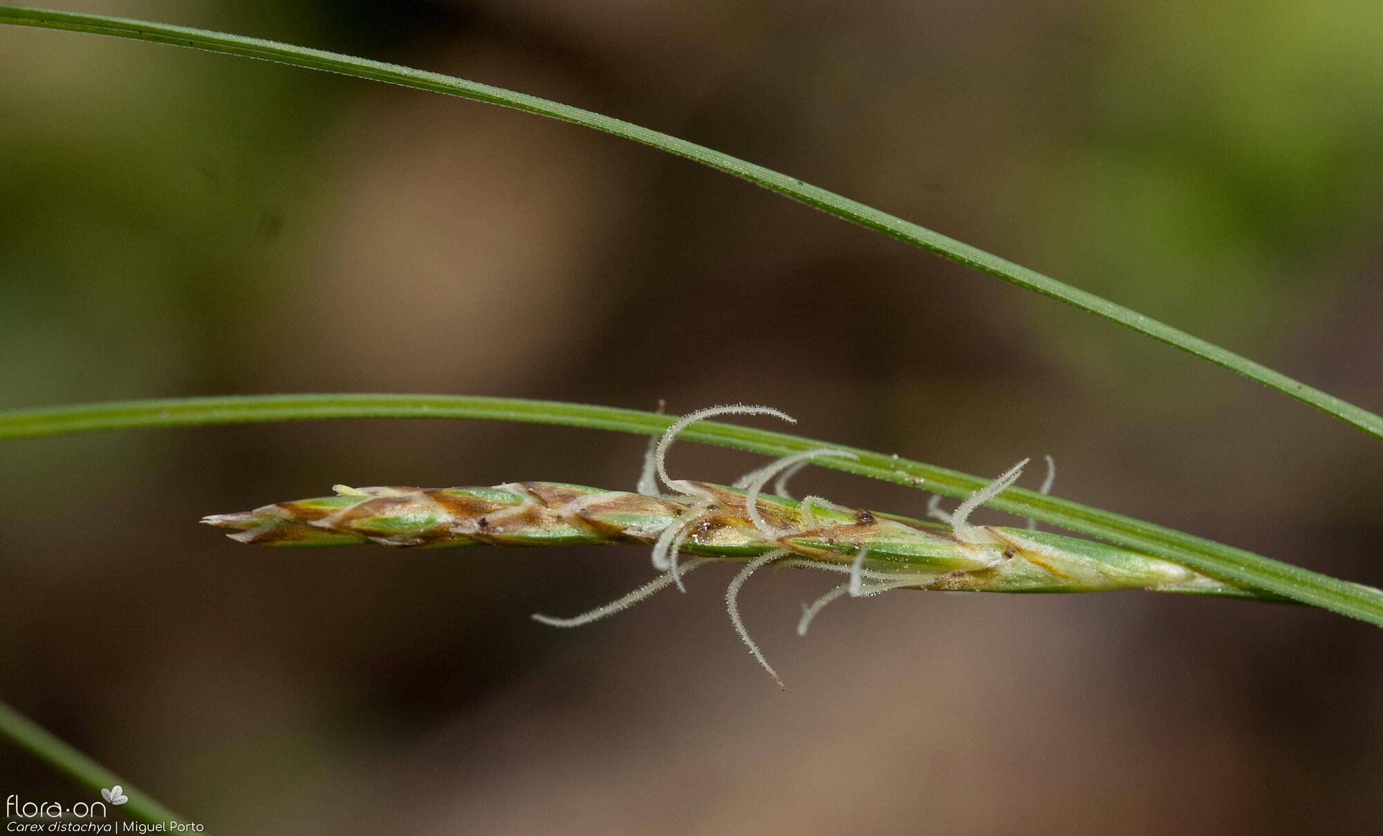 Carex distachya - Flor (close-up) | Miguel Porto; CC BY-NC 4.0