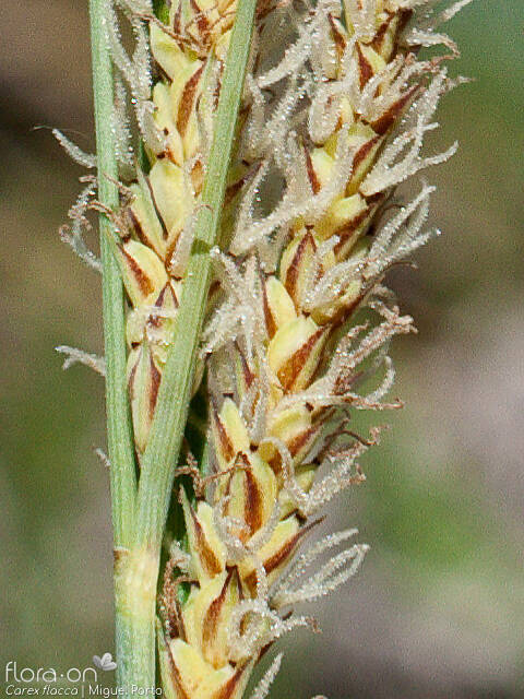 Carex flacca - Flor (close-up) | Miguel Porto; CC BY-NC 4.0