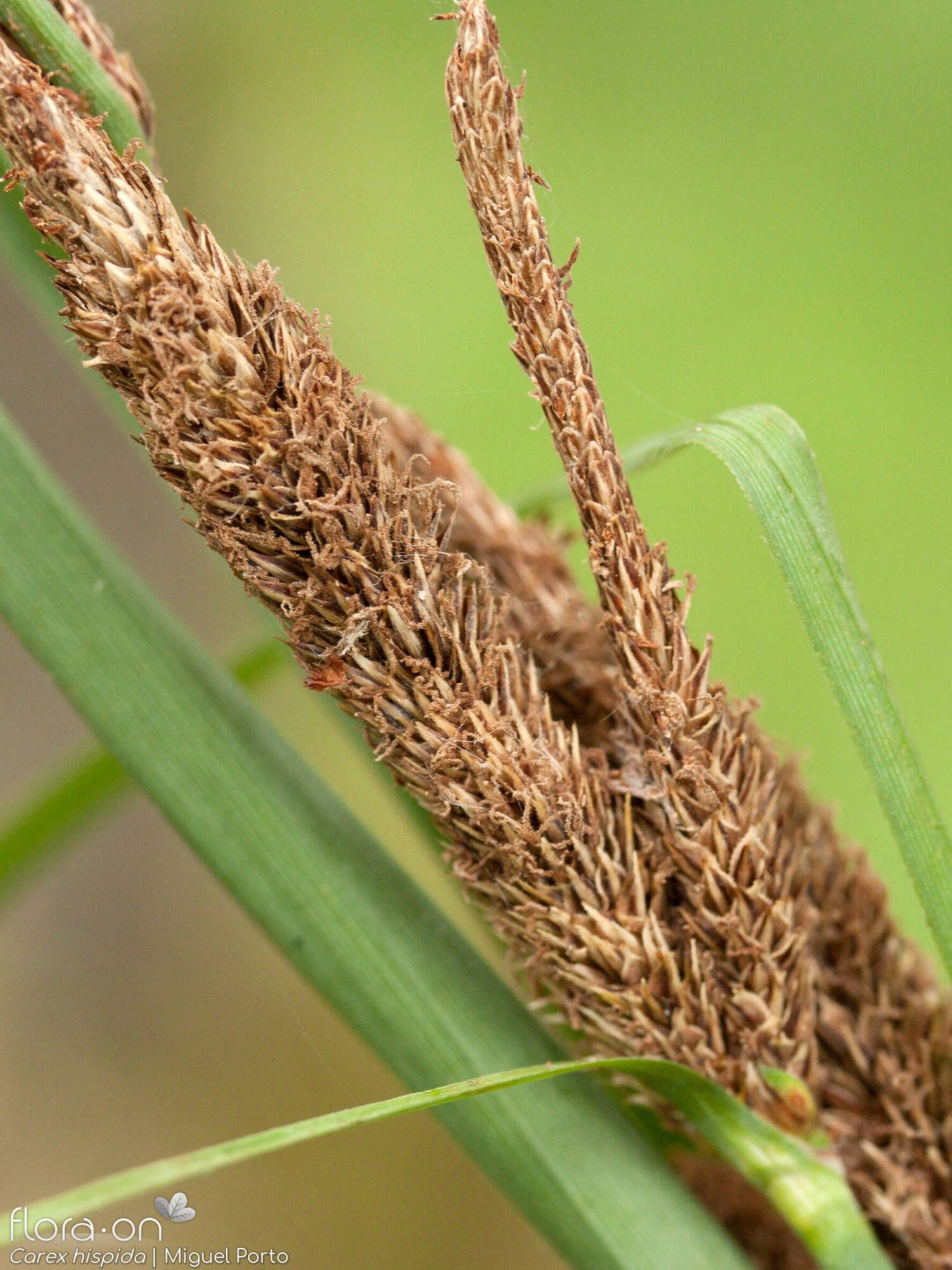 Carex hispida - Flor (close-up) | Miguel Porto; CC BY-NC 4.0