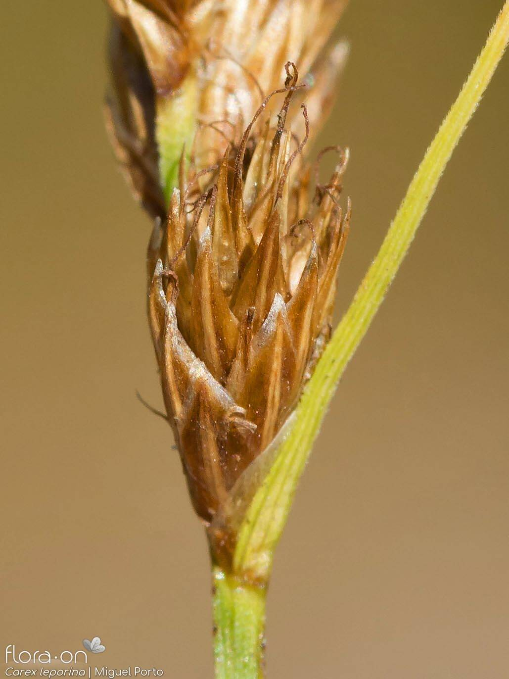 Carex leporina - Flor (close-up) | Miguel Porto; CC BY-NC 4.0