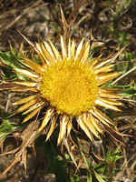 Carlina hispanica