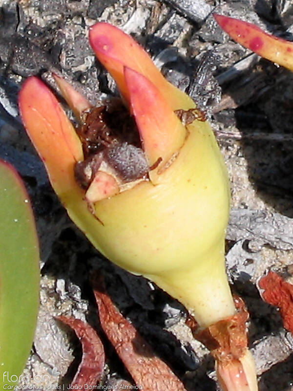 Carpobrotus edulis - Fruto | João Domingues Almeida; CC BY-NC 4.0