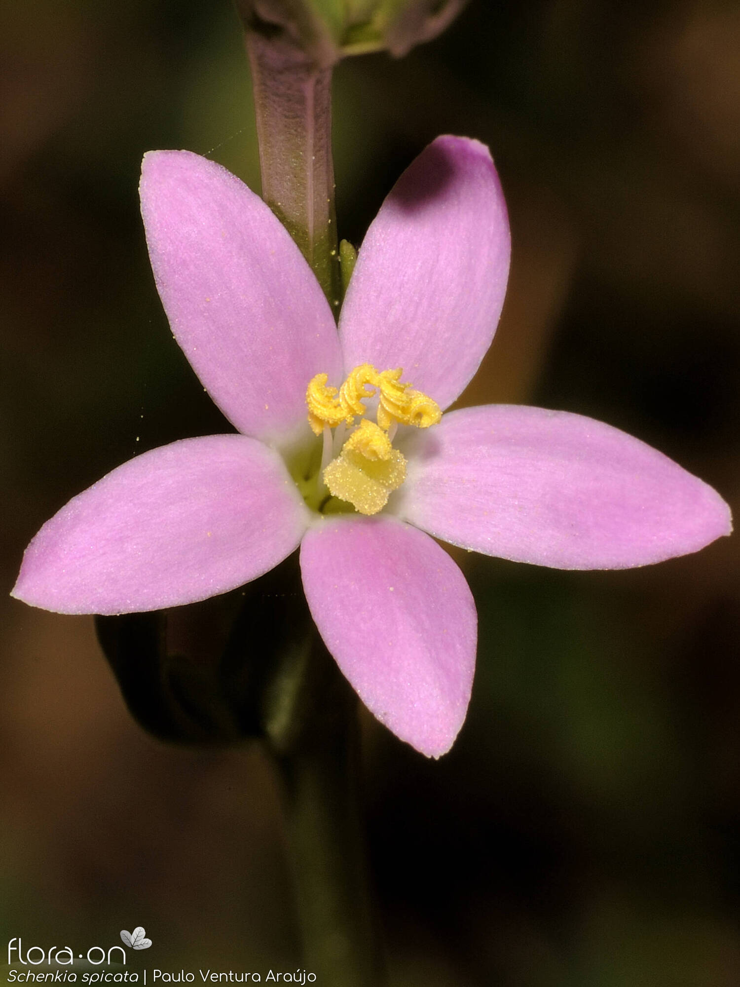 Centaurium spicatum - Flor (close-up) | Paulo Ventura Araújo; CC BY-NC 4.0