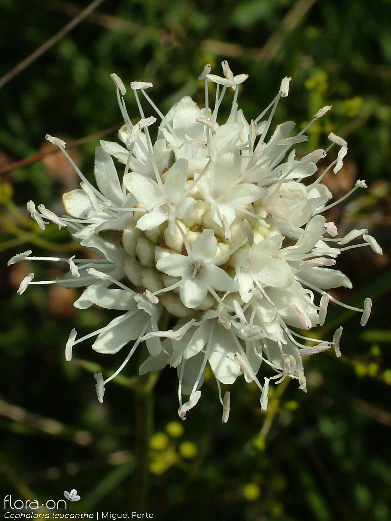 Cephalaria leucantha - Flor (close-up) | Miguel Porto; CC BY-NC 4.0