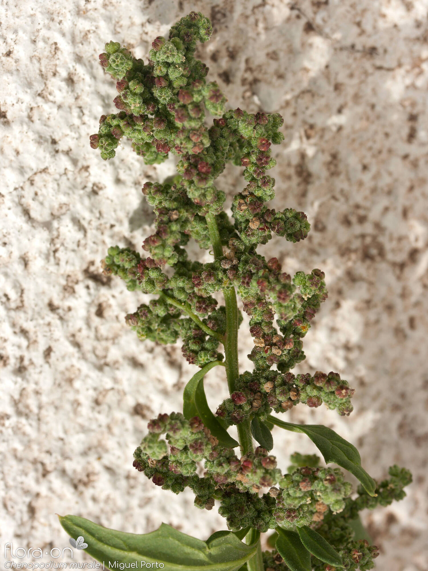 Chenopodium murale - Flor (geral) | Miguel Porto; CC BY-NC 4.0