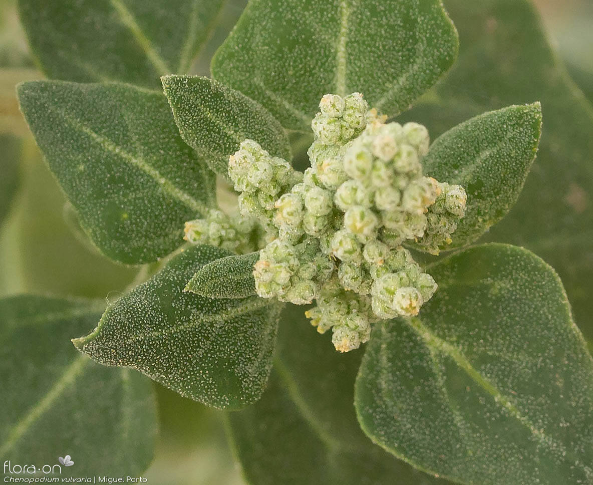 Chenopodium vulvaria - Flor (close-up) | Miguel Porto; CC BY-NC 4.0