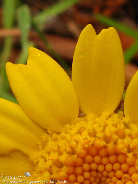 Chrysanthemum segetum - Flor (close-up) | Ana Júlia Pereira; CC BY-NC 4.0