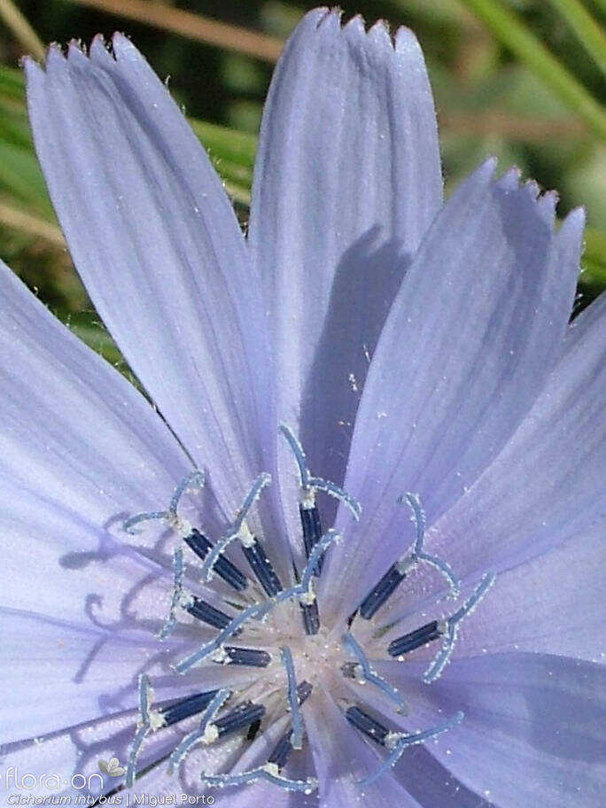 Cichorium intybus - Flor (close-up) | Miguel Porto; CC BY-NC 4.0